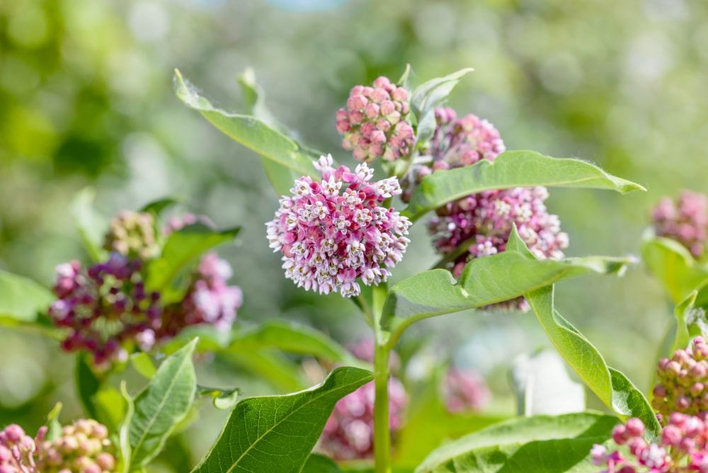 milkweed host plant