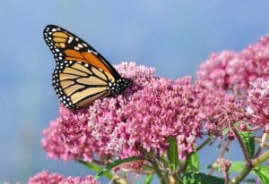 monarch on milkweed - butterfly garden