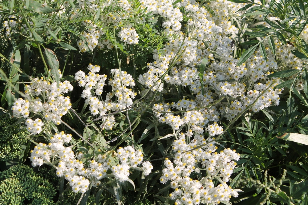 pearly everlasting butterfly garden