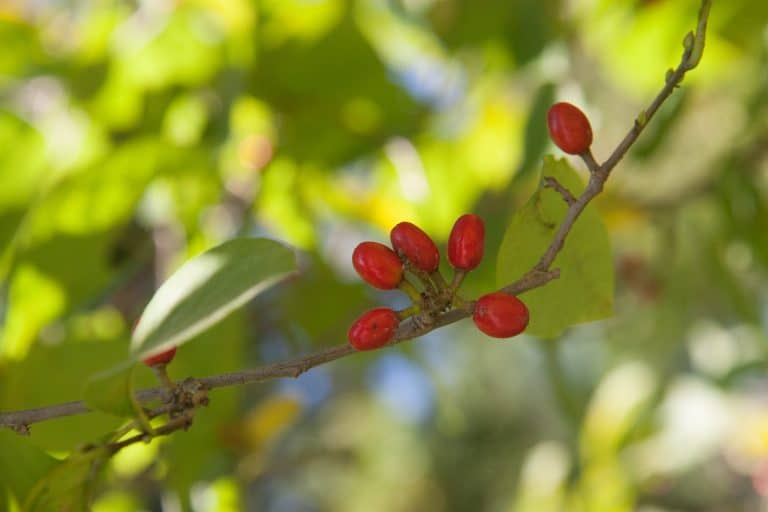 spicebush - host plants