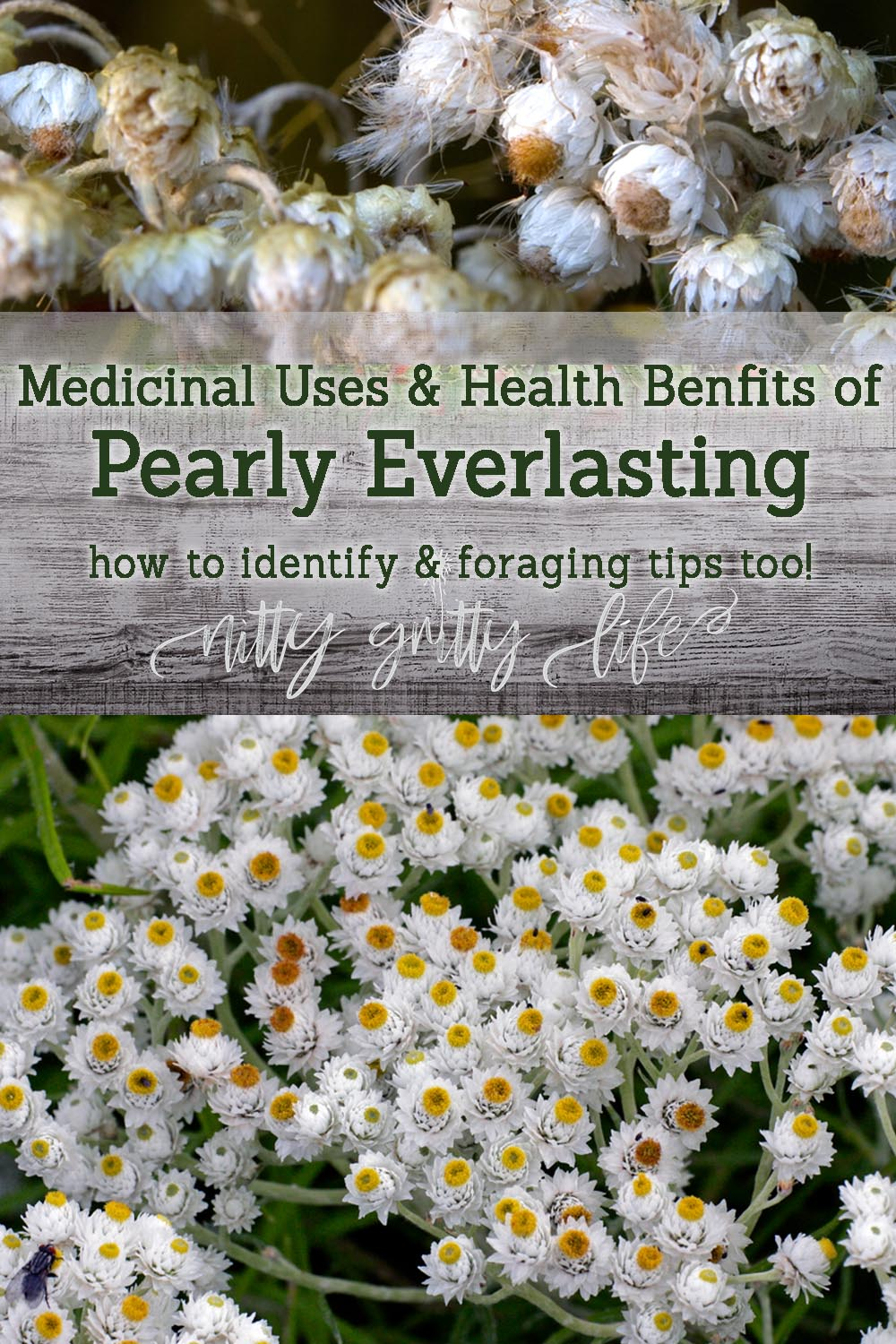 health benefits of pearly everlasting pin