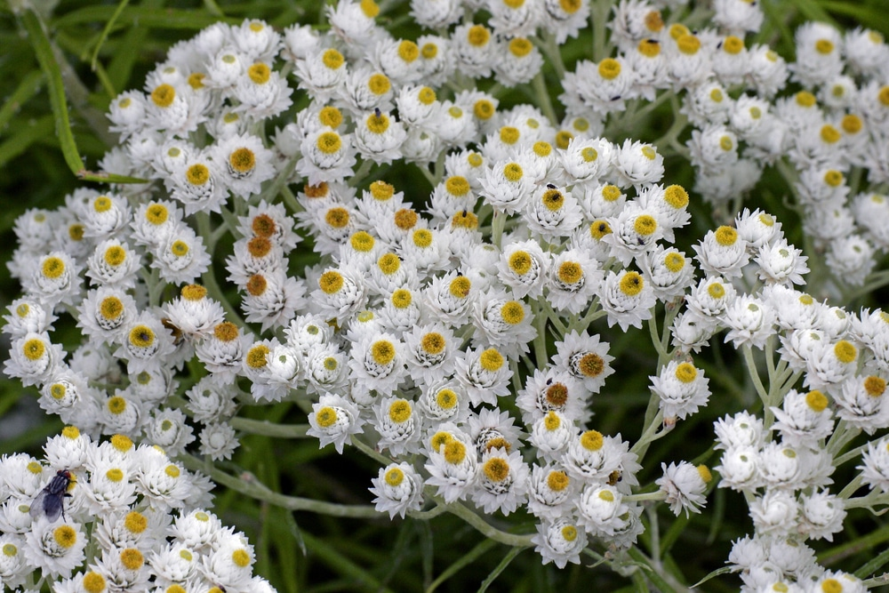 pearly everlasting in flower