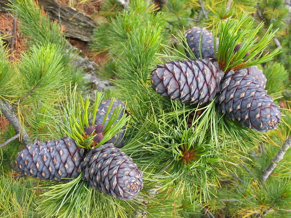 pine - holiday plants