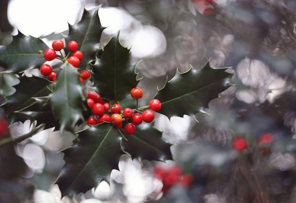 holly - Christmas plants