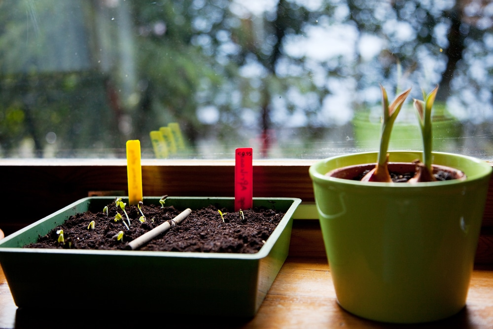 starting seeds on a window sill