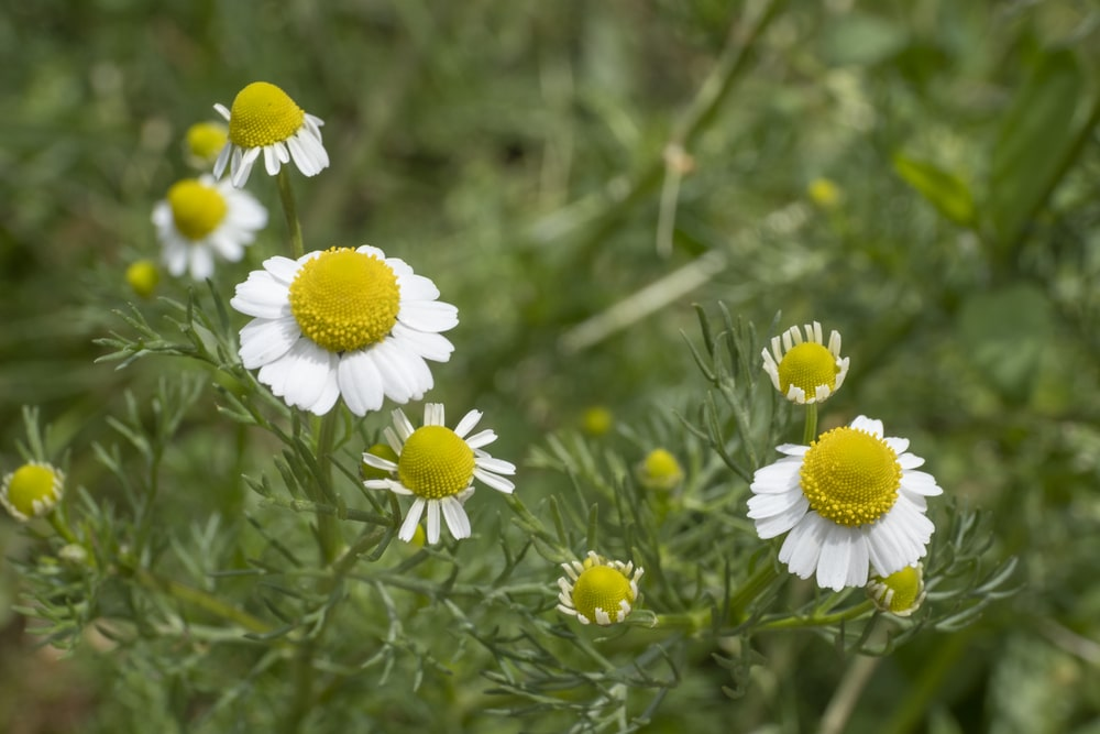 german chamomile for the cottage garden