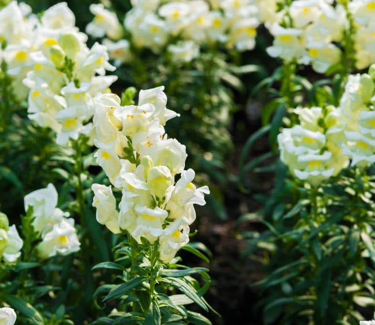 medicinal annuals for the cottage garden