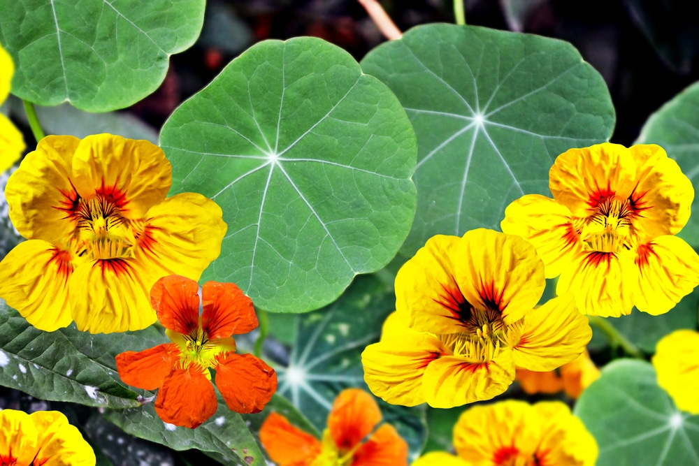 nasturtium for the cottage garden