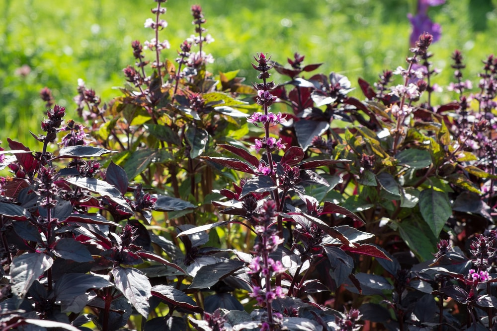 purple basil for the cottage garden
