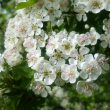 10 Medicinal Trees and Shrubs for the Home Landscape